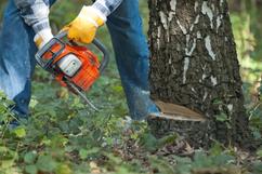 Baumfällung durch Kettensäge